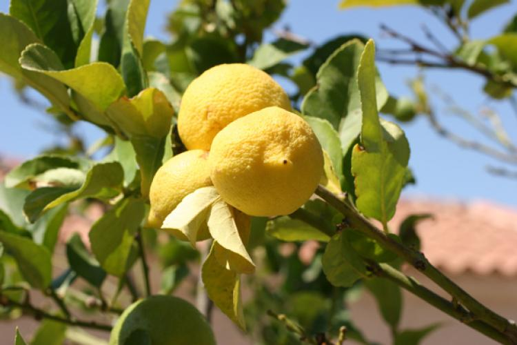 Yellow, ripe lemons on a lemon tree on a bright, sunny day.