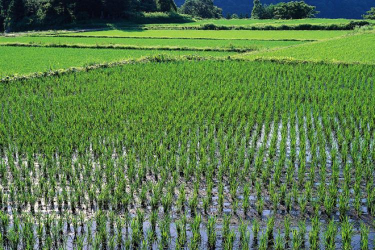 Rice field covered in water.
